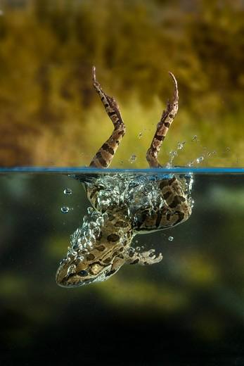 Rio Grande Leopard Frog (Rana berlandieri) jumping into water, Texas
