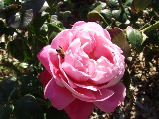 growth-plant-flower-petal-rose-spring-1153943-pxhere.com